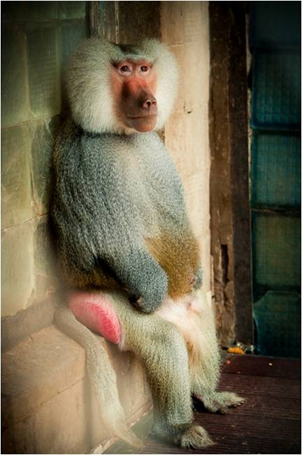 Обитатель обезьяньего питомника  - павиан гамадрил