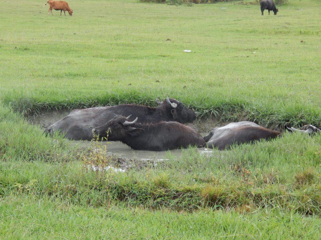 Прием грязевых ванн буйволами